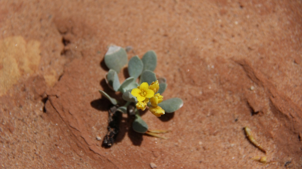 Newberry's Twinpod – Physaria Newberryi