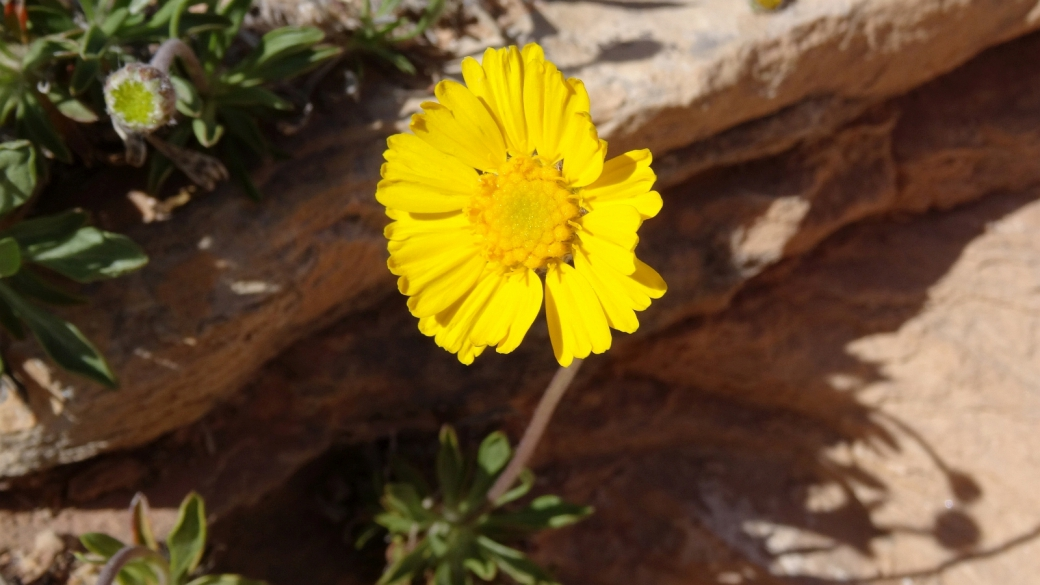 Stemmy Four-Nerve Daisy - Tetraneuris Scaposa