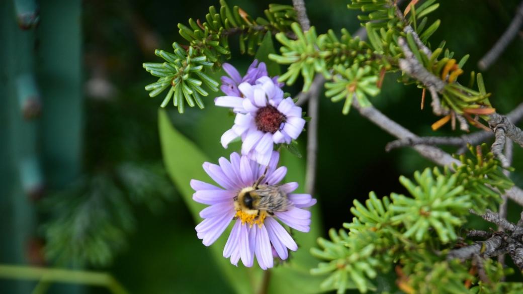 Purplestem Aster - Symphyotrichum Puniceum