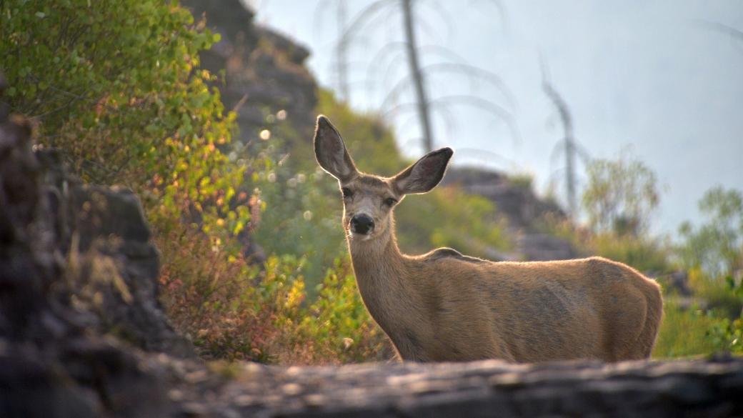 Trop chou cette bichette, rencontrée sur le The Loop Trail, à Glacier National Park, Montana.
