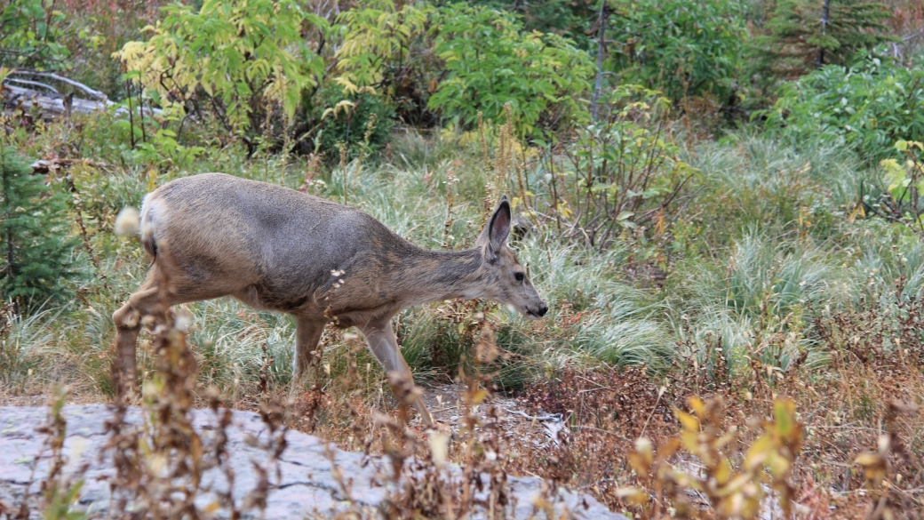 Bichette rencontrée sur le The Loop Trail, à Glacier National Park, Montana.