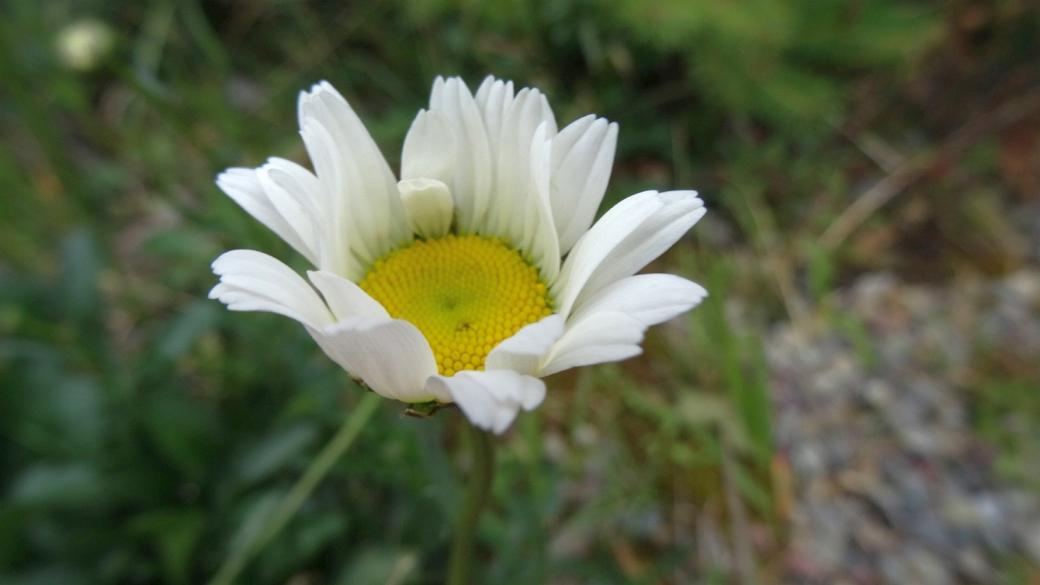 Oxeye Daisy - Chrysanthemum Leucanthemum