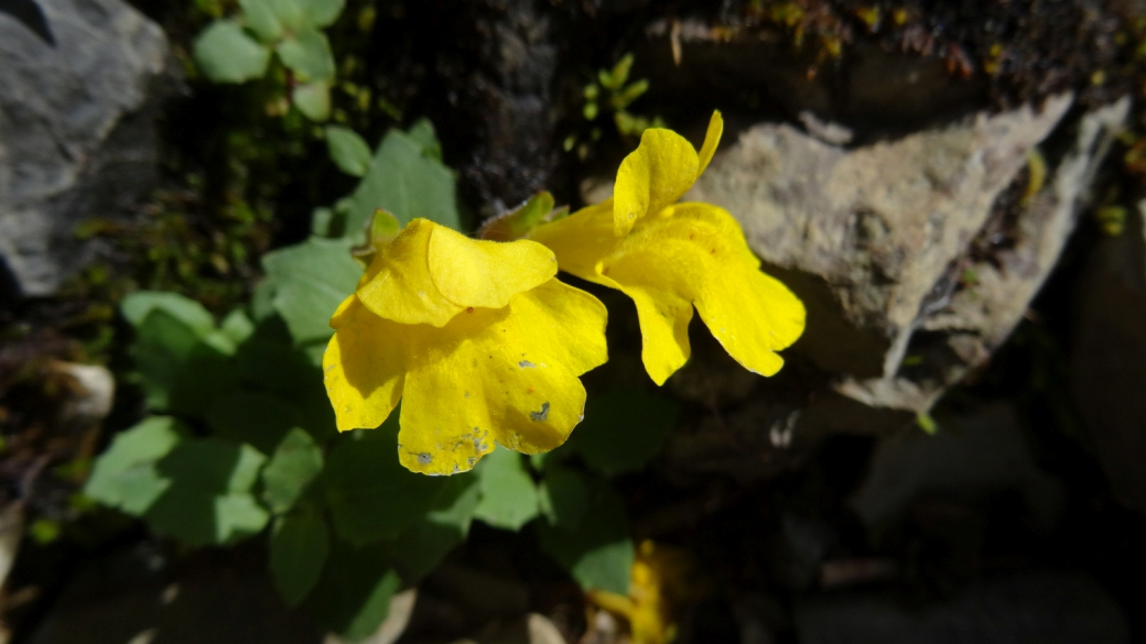 Yellow Monkey Flower - Mimulus Guttatus
