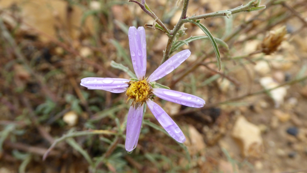 Waxy Aster - Aster Glaucus