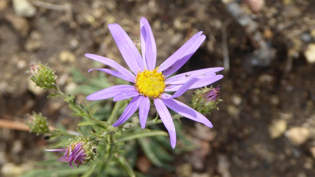 Gray Tansy Aster - Dieteria canescens