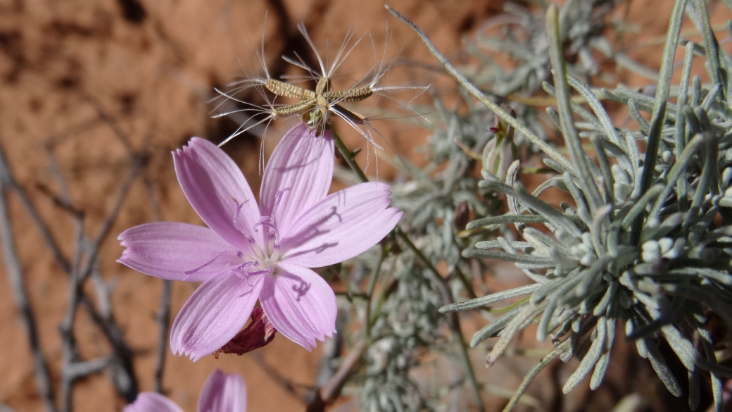 Rush-like Rushpink - Lygodesmia Juncea