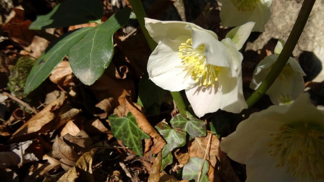 Rose de Noël - Helleborus Niger