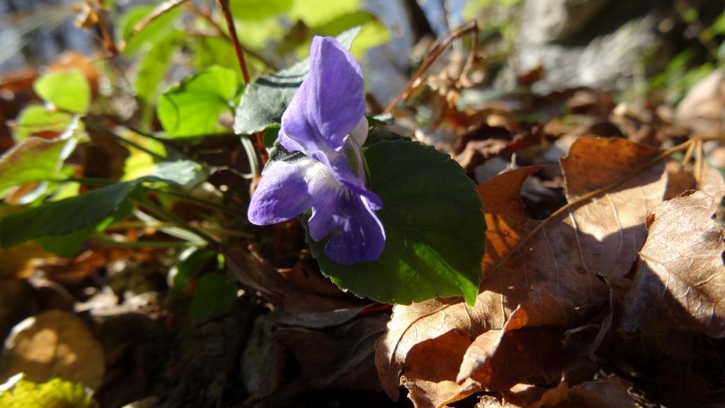 Violette - Viola