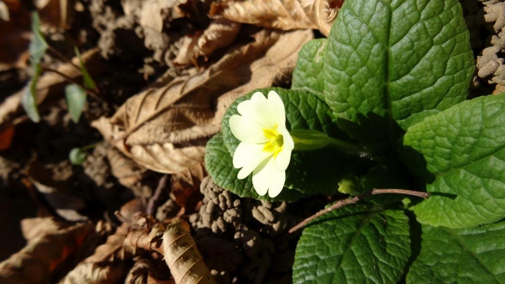 Primevère Commune - Primula Vulgaris