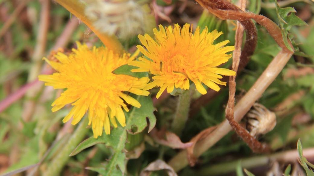 Common Dandelion - Taraxacum Officinale