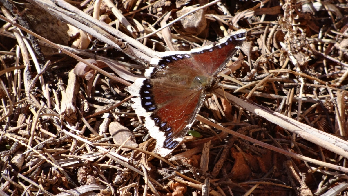 Mourning Cloak Butterfly – Nymphalis Antiopa