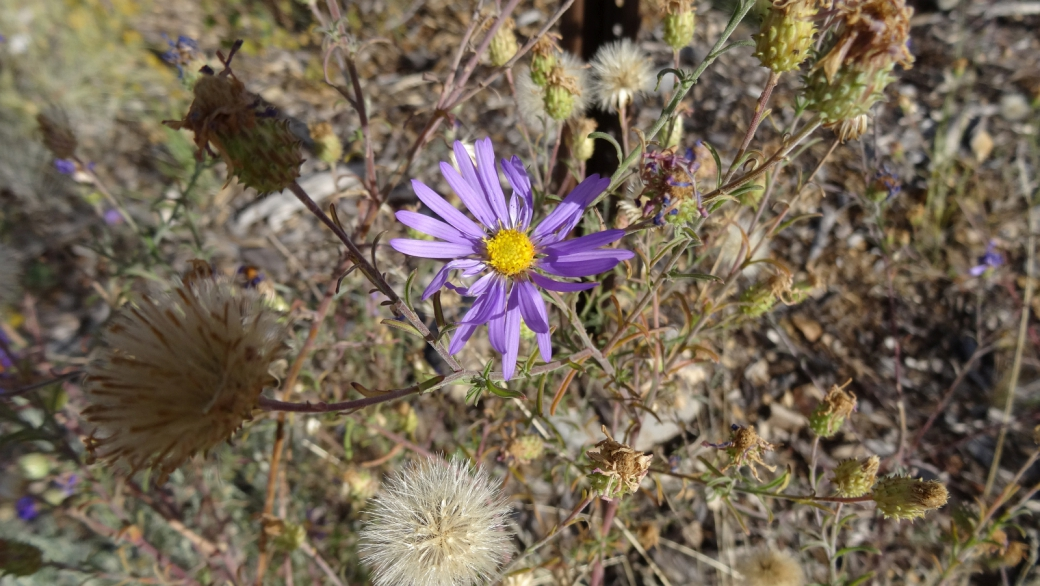 Hoary Aster - Machaeranthera Canescens