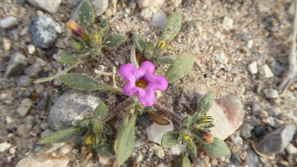 Purple Mat - Nama Demissum