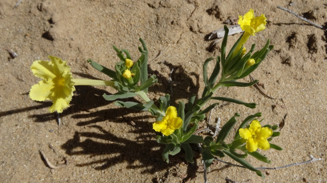 Showy Stoneseed - Lithospermum Incisum