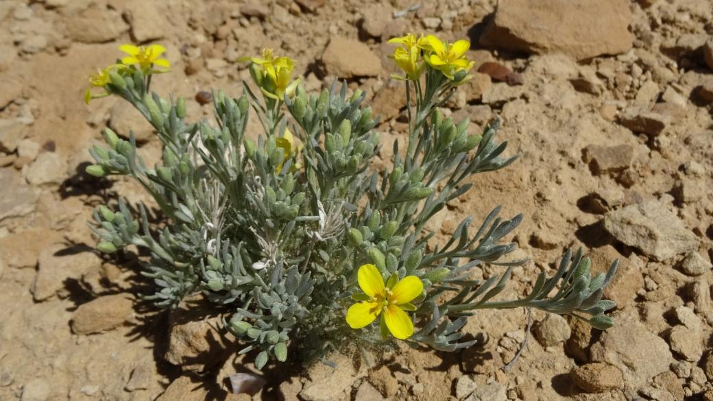 Mid-Bladderpod - Physaria Intermedia