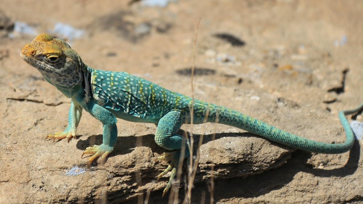 Eastern Collared Lizard (male) - Crotaphytus Collaris