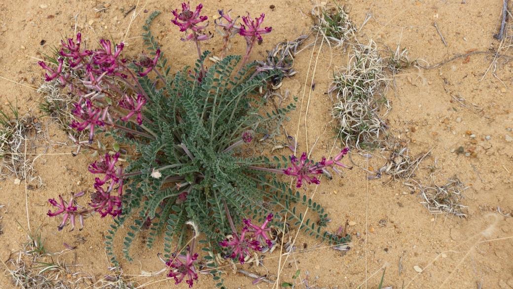 Woolly Locoweed - Astragalus Mollissimus