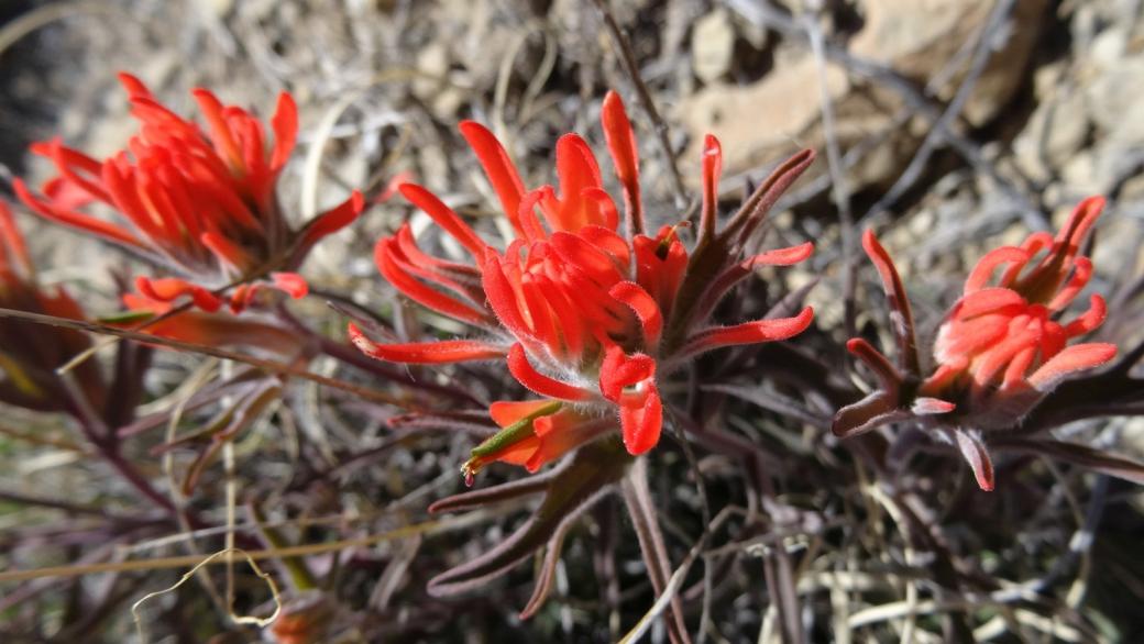 Desert Paintbrush - Castilleja Chromosa