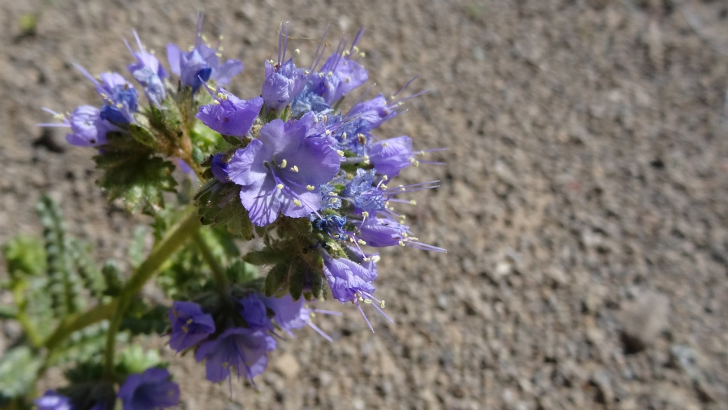 Notch-Leaved Phacelia Plant - Phacelia crenulata