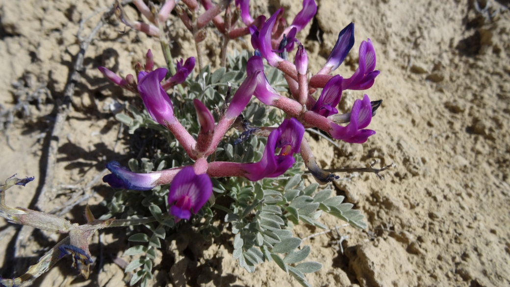 Short's Milkvetch - Astragalus Shortianus