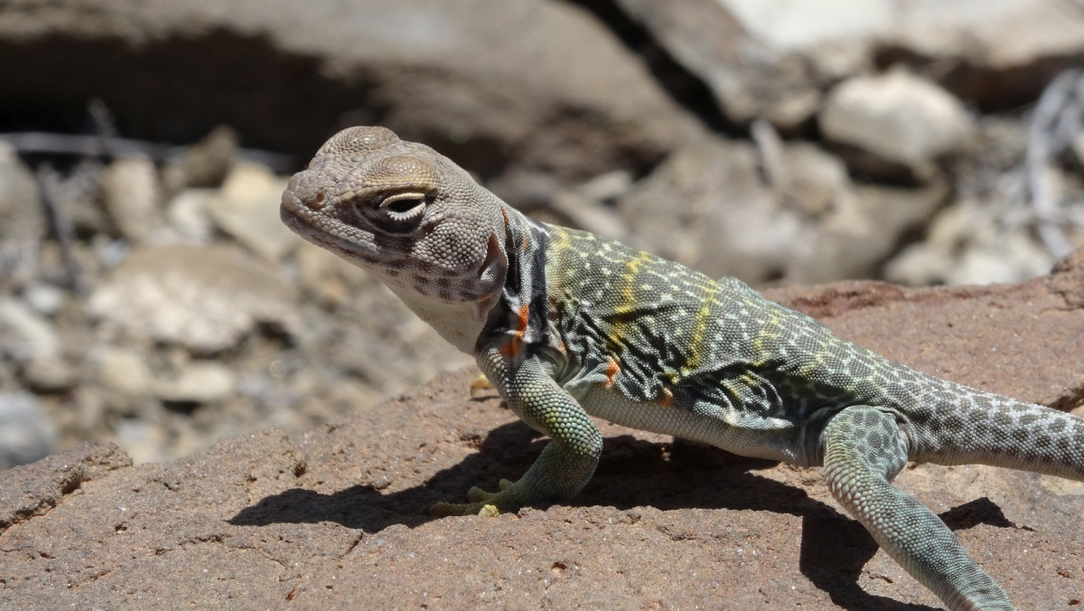 Eastern Collared Lizard (female) - Crotaphytus Collaris