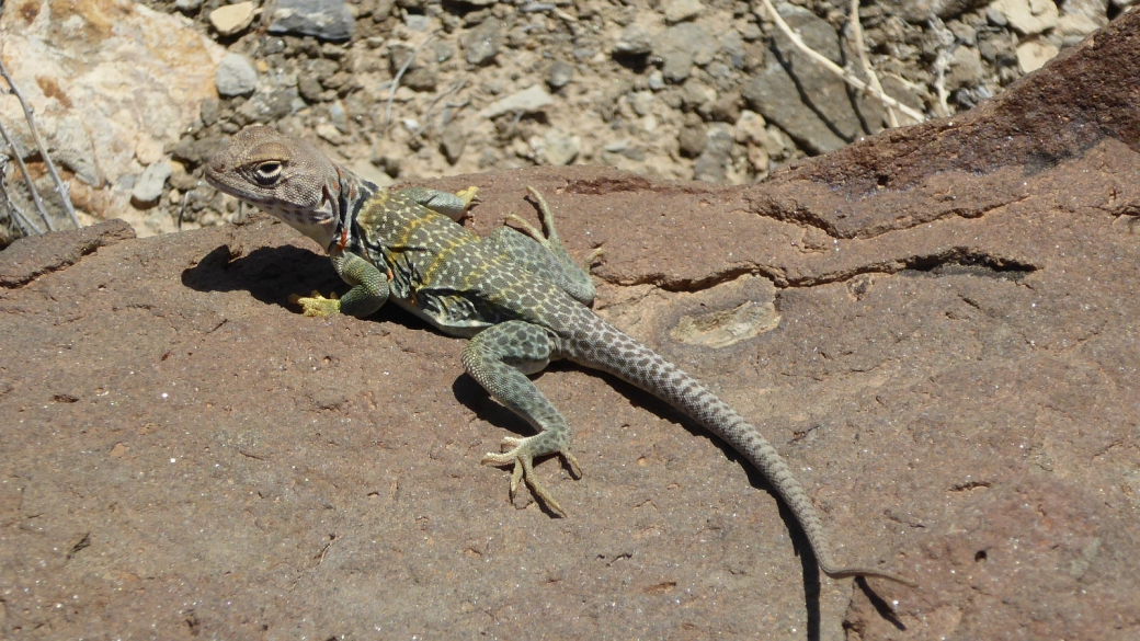 Eastern Collared Lizard (female) - Crotaphytus Collaris