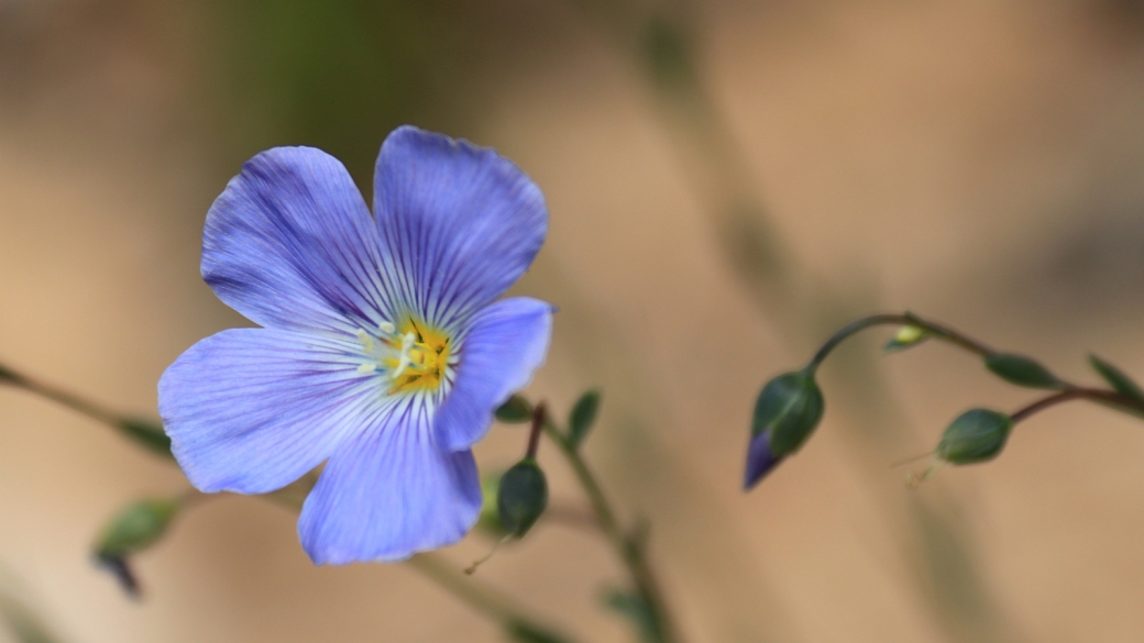 Wild Blue Flax - Linaceae (Flax) Linum Lewisii