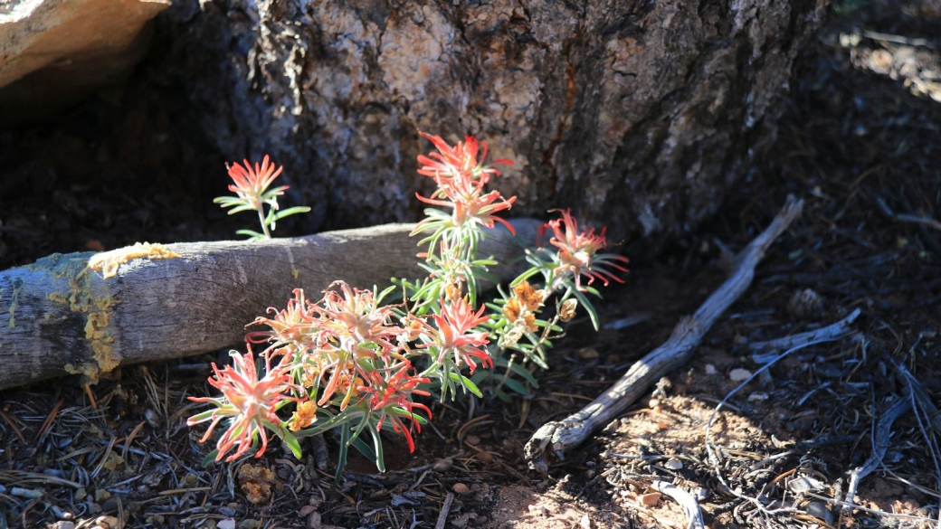 Desert Paintbrush - Castilleja Chromosa