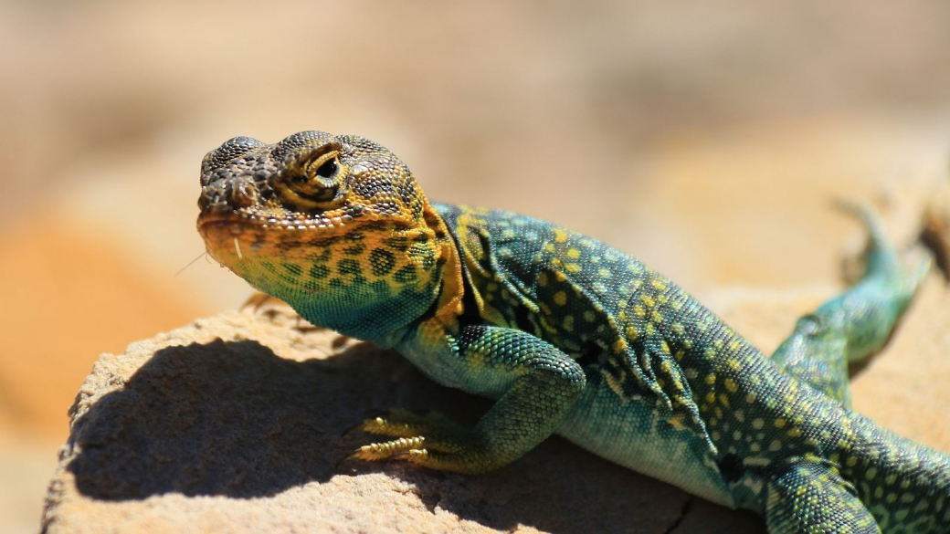 Eastern Collared Lizard (male) - Crotaphytus Collaris