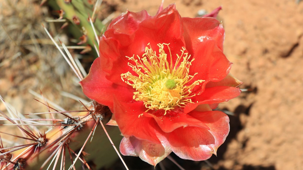 Plain Prickly Pear - Opuntia Polyacantha