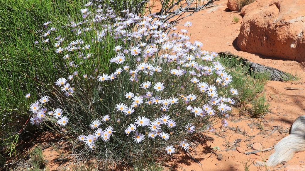 Utah Fleabane - Purple Erigeron Utahensis