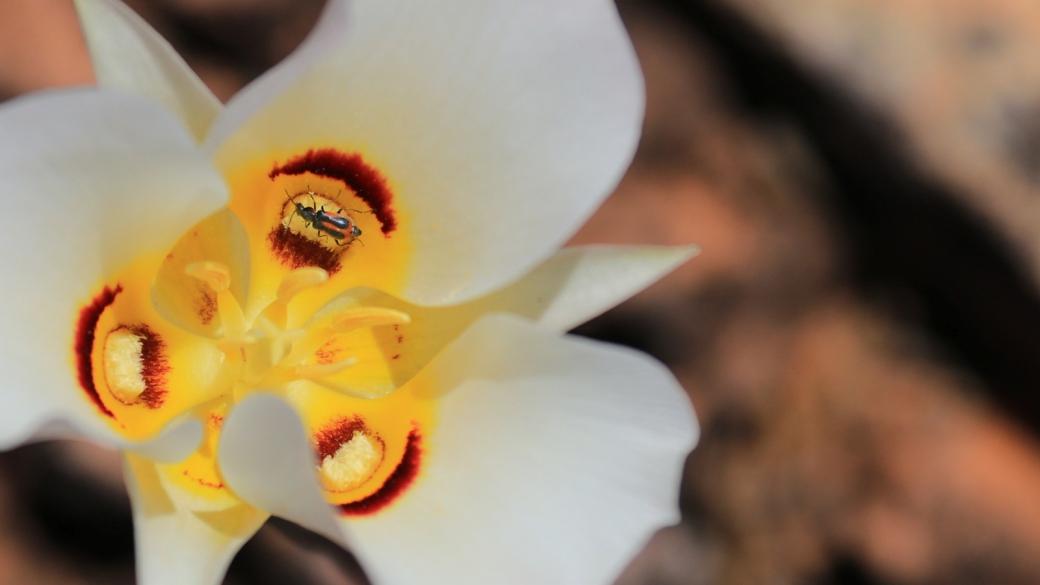 Sego Lily - Calochortus Nuttallii