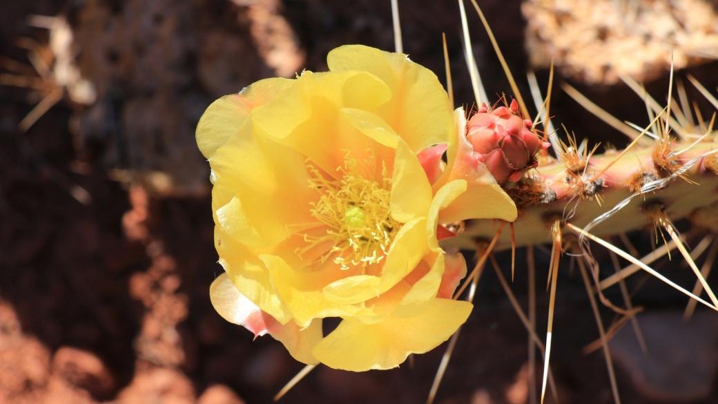 Plain Prickly Pear - Opuntia Polyacantha
