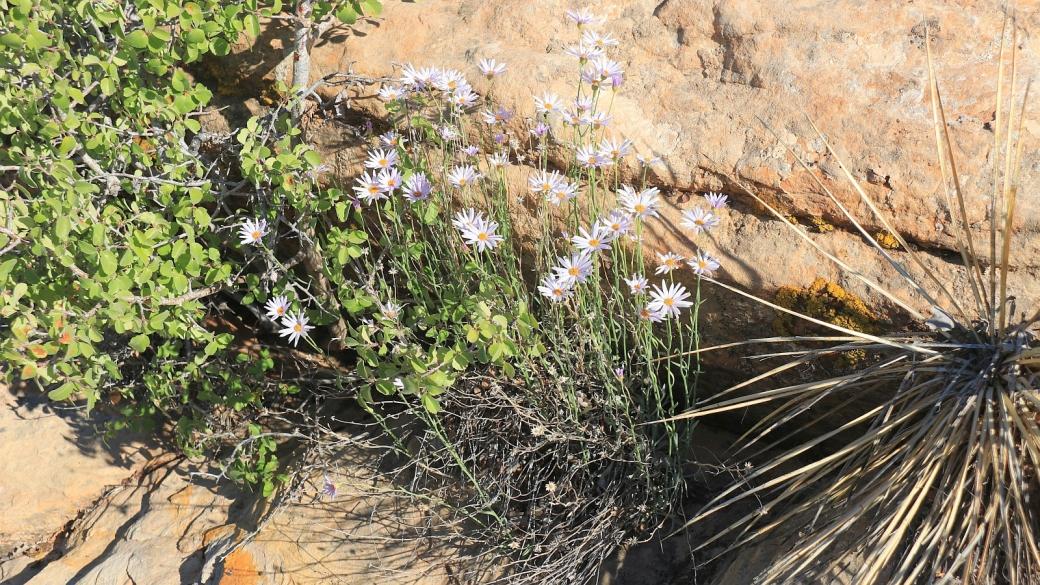 Mojave Woodyaster - Xylorhiza Tortifolia