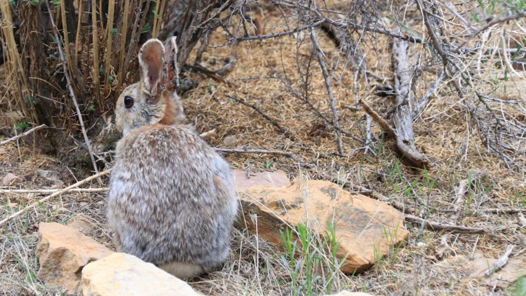 Lui, c'est le lapin de Daddy Canyon Complex, dans le Nine Mile Canyon, à proximité de Price, Utah.