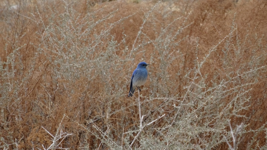 Mountain Bluebird ou Sialia currucoides, au Head of Sinbad Pictograph Panel, San Rafael Swell, près de Green River, dans l'Utah.