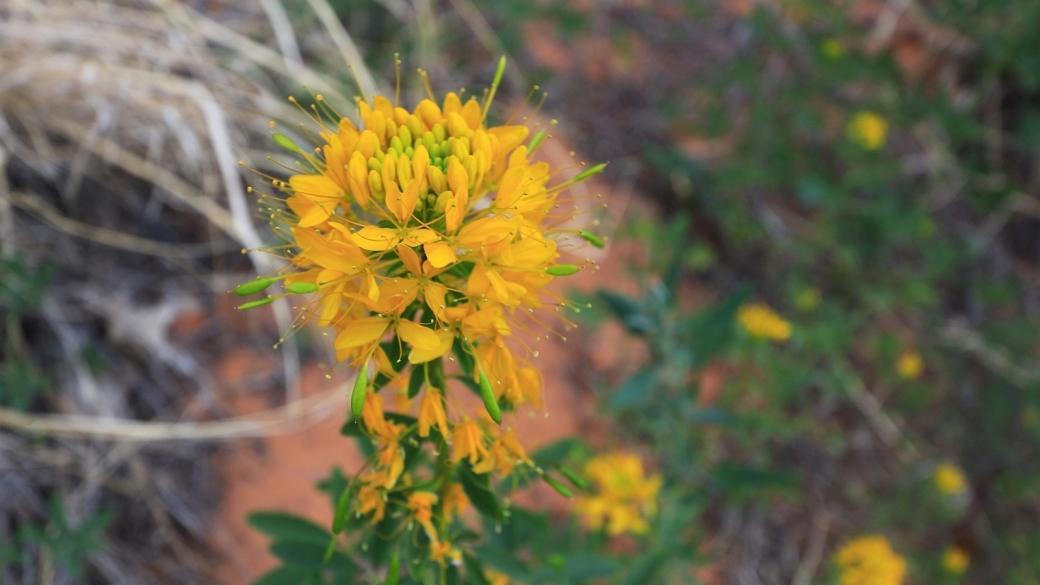 Yellow Bee Plant - Cleome Lutea