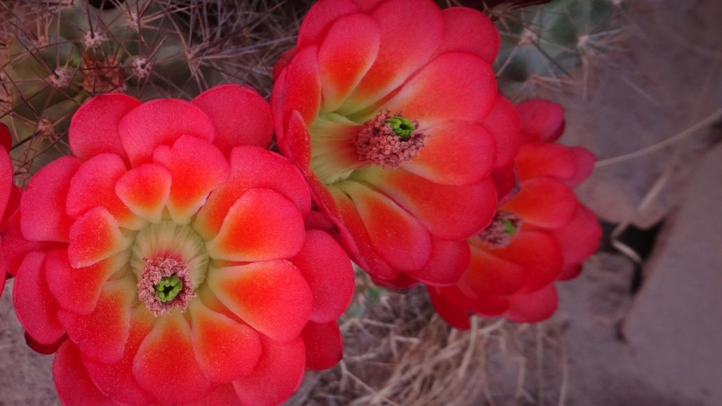 Claret Cup Cactus – Echinocereus Triglochidiatus