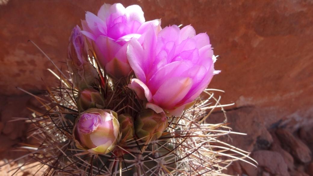 Fishhook Cactus - Mammillaria Grahamii