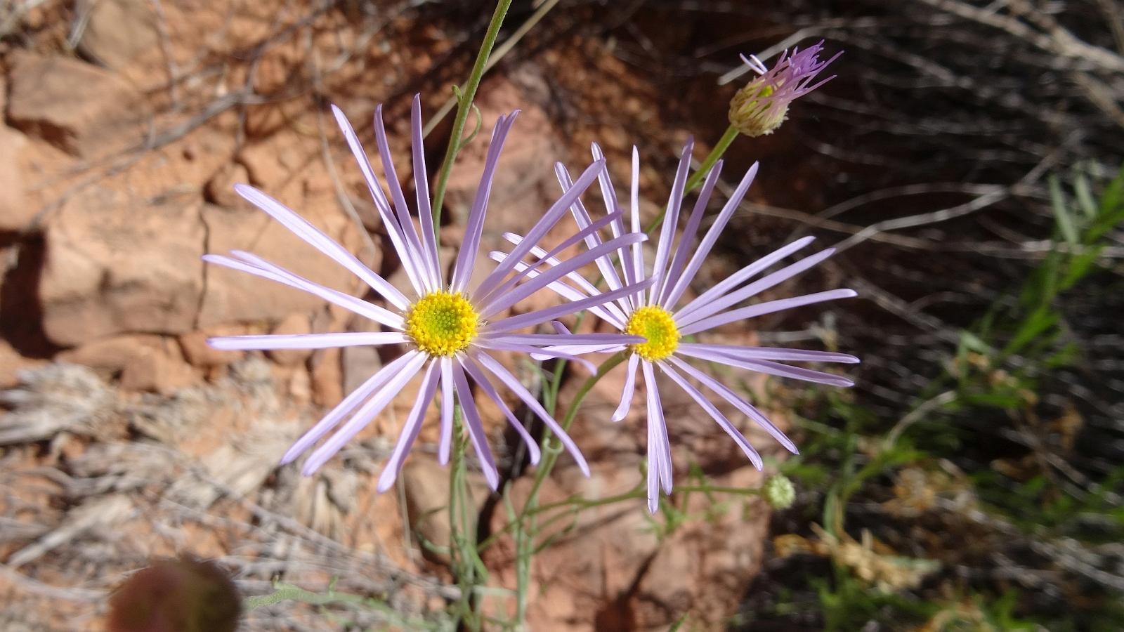 Hoary Aster – Machaeranthera Canescens