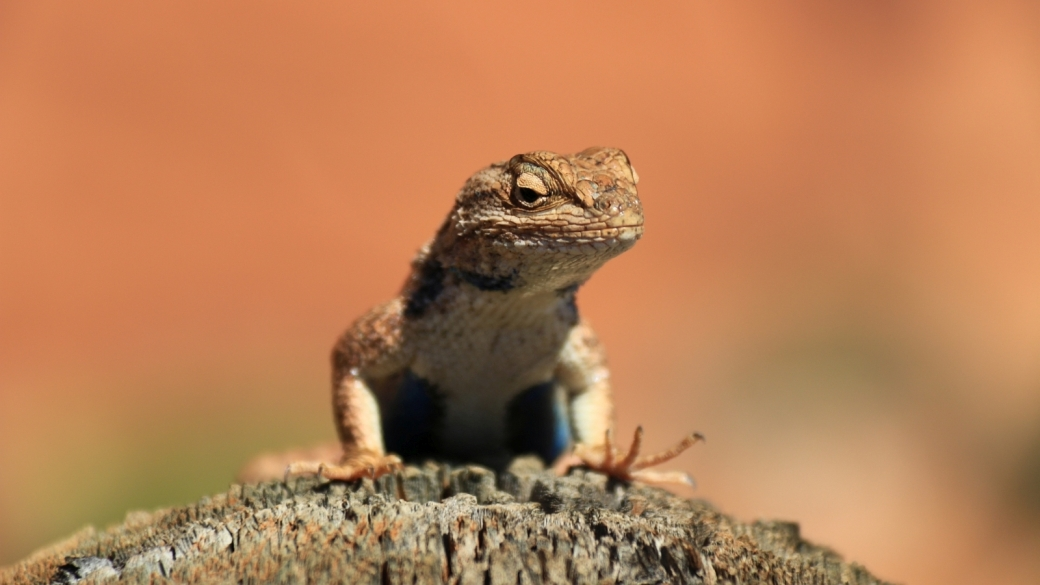 Blue-Belly Lizard - Sceloporus Undulatus
