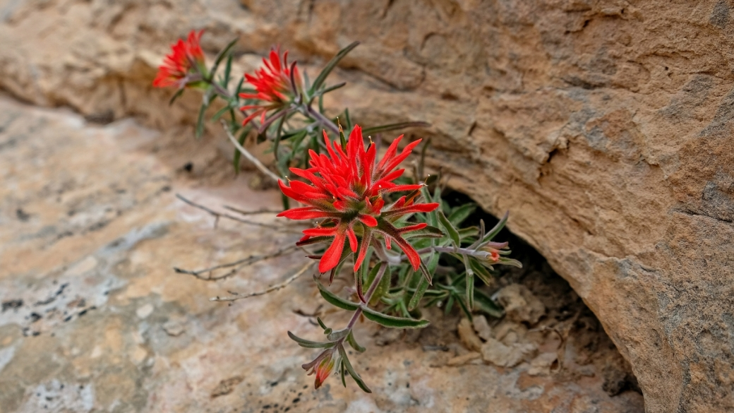 Desert Indian Paintbrush – Castilleja Chromosa