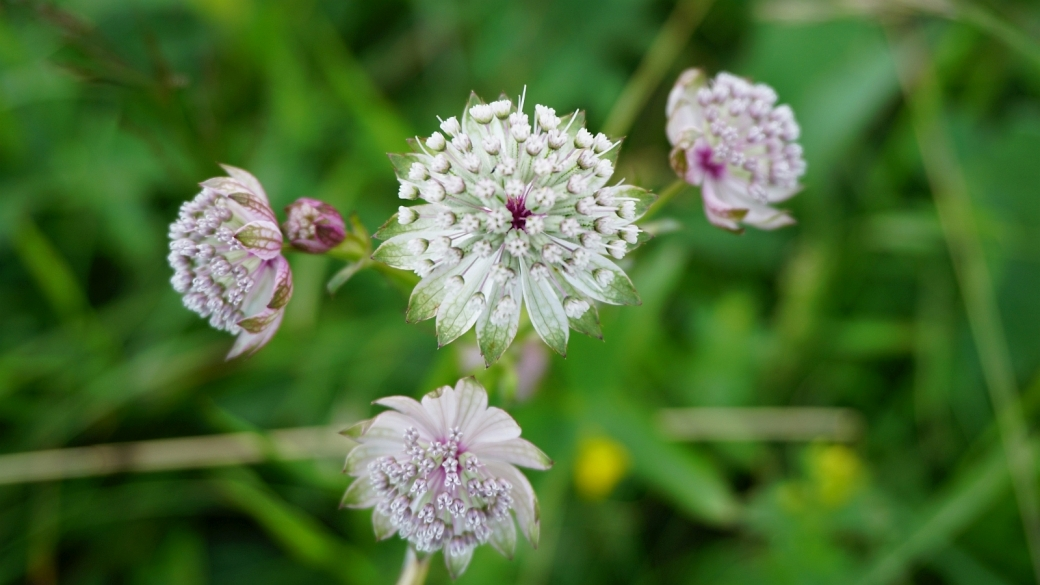 Grande Astrance - Astrantia Major
