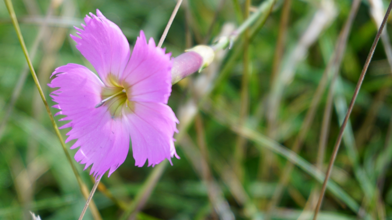 Oeillet Sauvage - Dianthus Caryophyllus