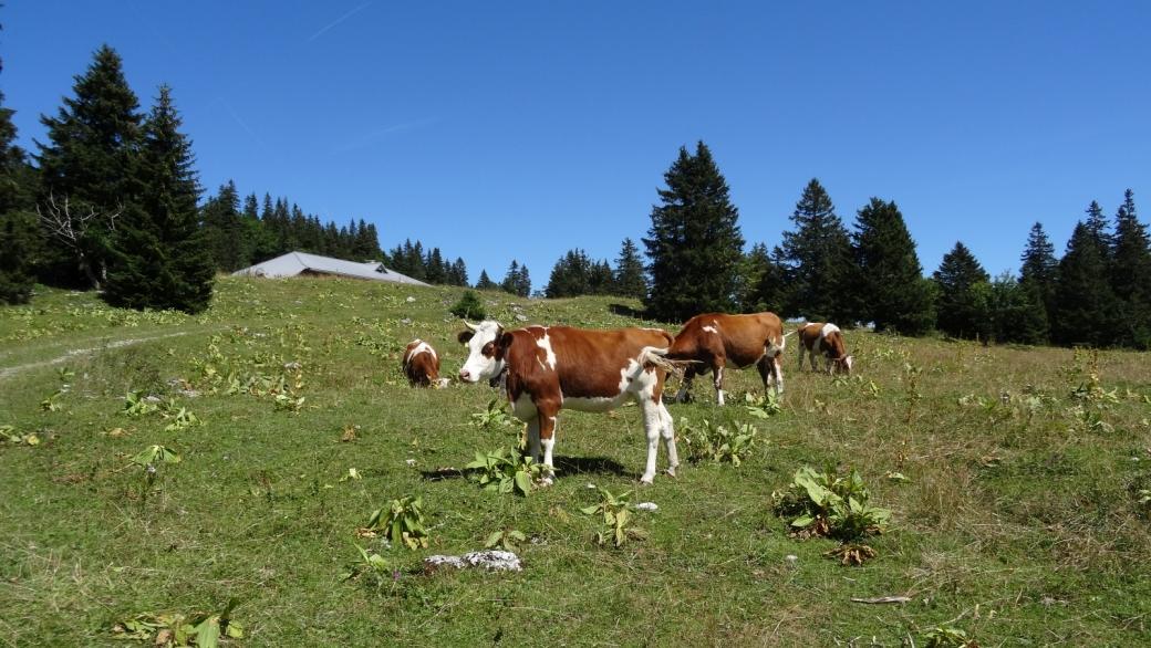 Quelques vaches envahies par les mouches, rencontrées vers le chalet de Potraux.