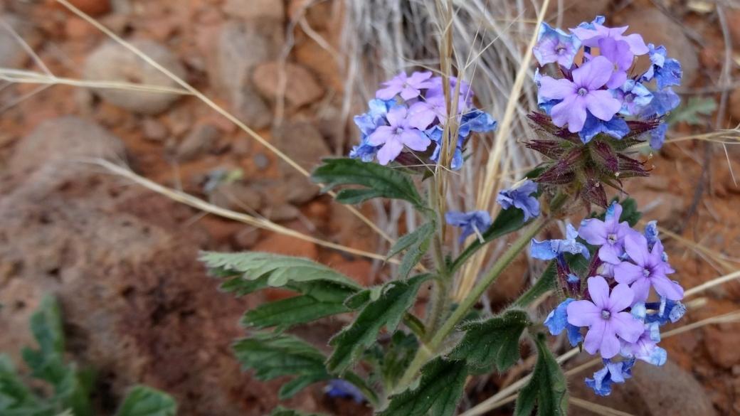 Southwestern Mock Vervain - Glandularia Gooddingii