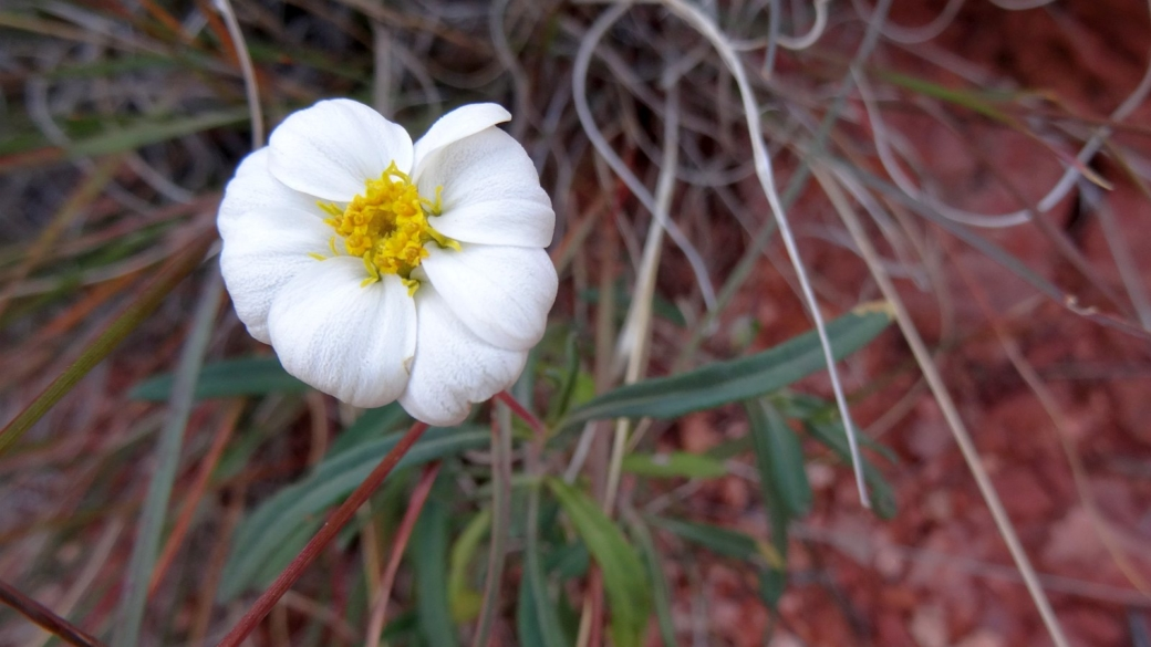White Woolly Daisy - Eriophyllum Lanosum