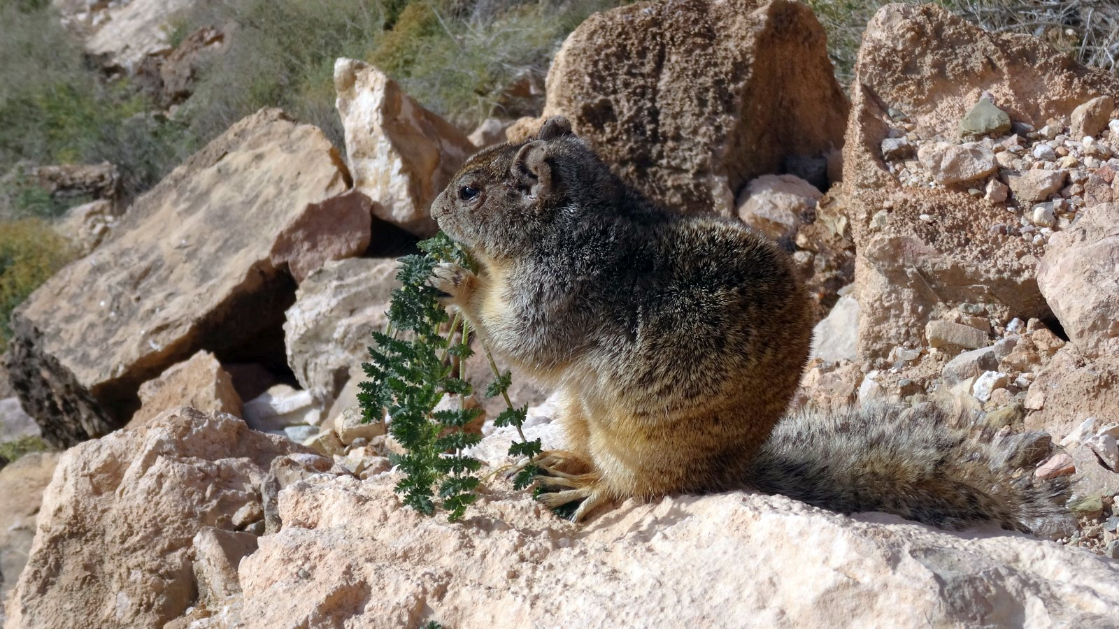Rock Squirrel - Otospermophilus Variegatus