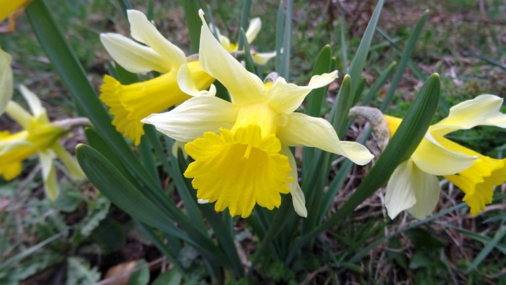 Jonquille - Narcissus Jonquilla