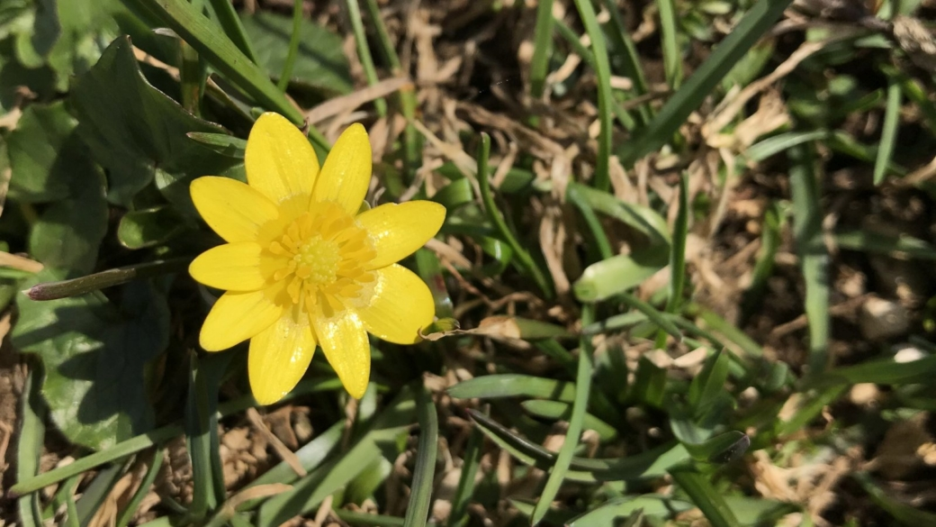 Ficaire Fausse Renoncule - Ficaria Grandiflora